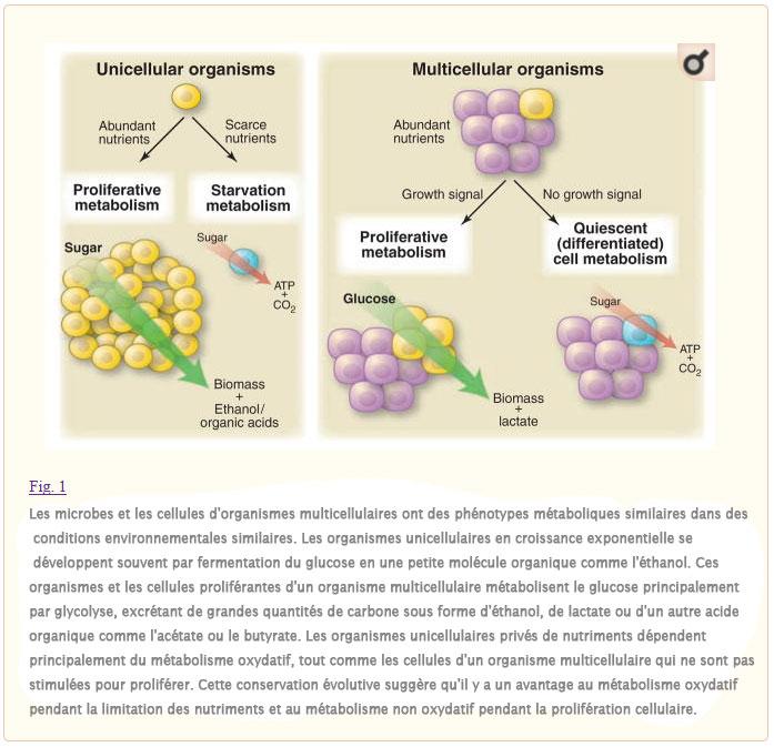 Comprendre l'effet Warburg : Les exigences métaboliques de la prolifération cellulaire