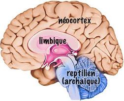 Les 3 cerveaux