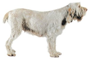 Spinone. Magnétiseur Animaux Jacques;