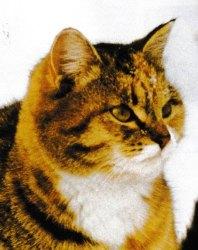 Découvrir la race de chat Sibérien. Jacques magnétiseur énergéticien pour les animaux.