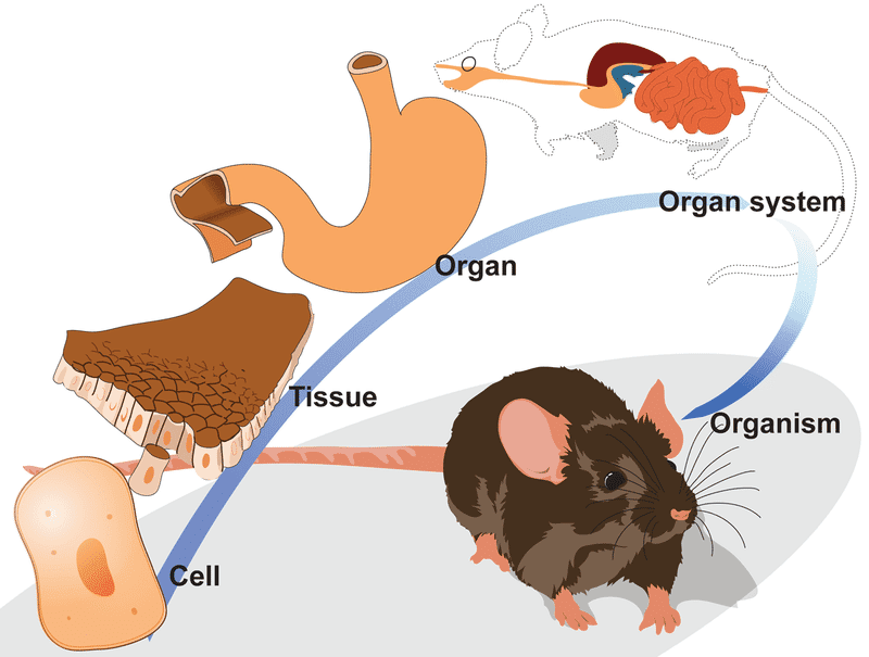 An individual mouse is made up of several organ systems