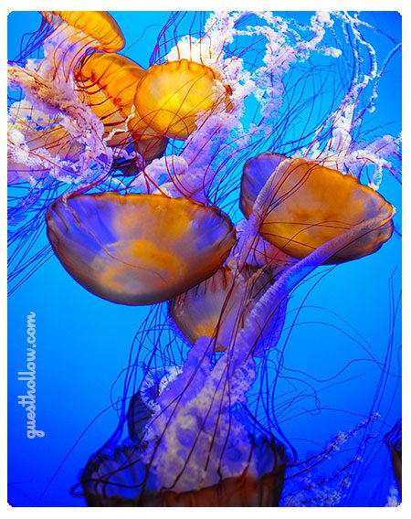 Jellyfish at Monterey Bay Aquarium - picture by Charles Guest
