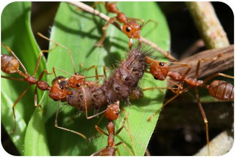 Cooperation in a Social Insect