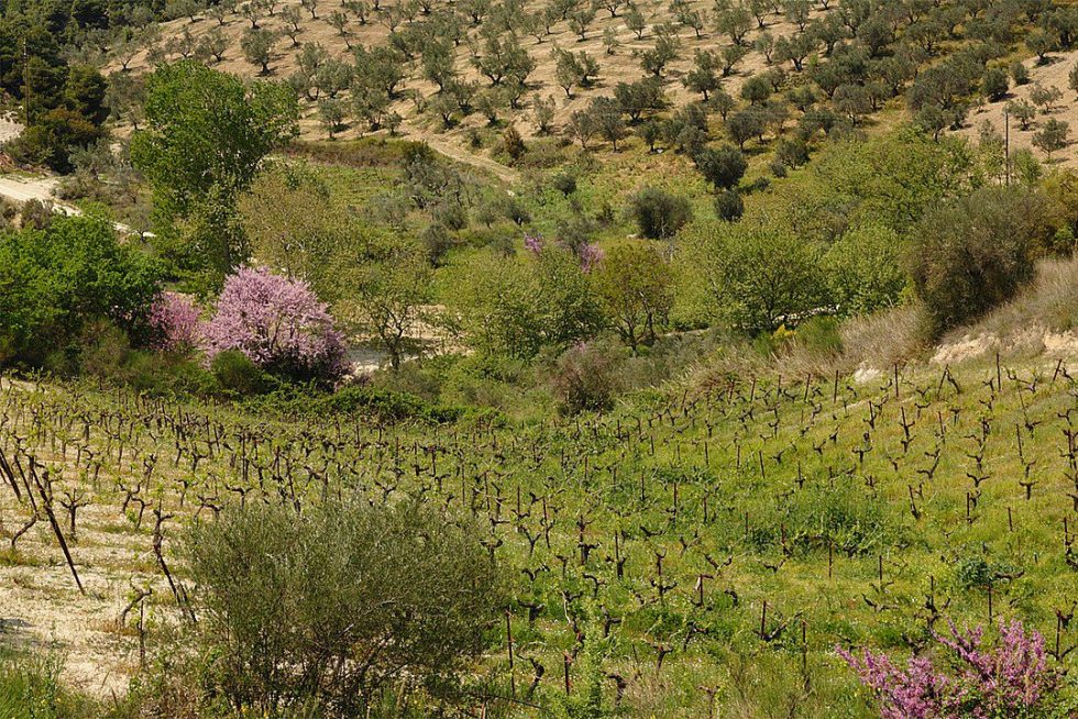 Olives and grapes growing on the peninsula Peloponnese, Greece
