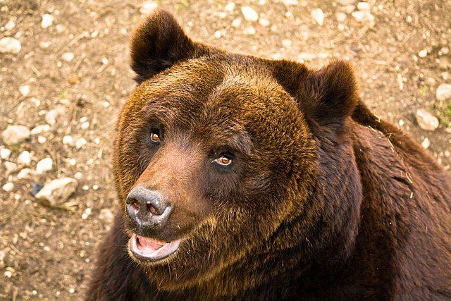 Marsican bear
