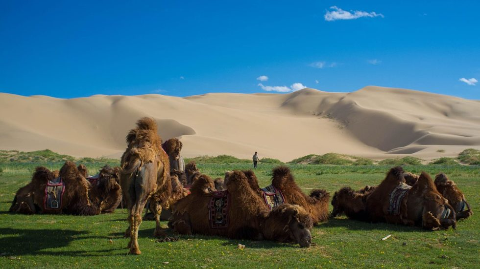 Bactrian camels by the sand dunes in the Gobi Desert