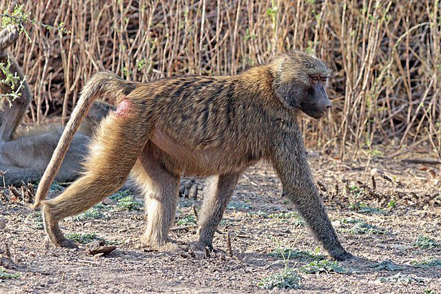 The Hamadryas baboon lives in the southwestern portion of Saudi Arabia and part of Africa.