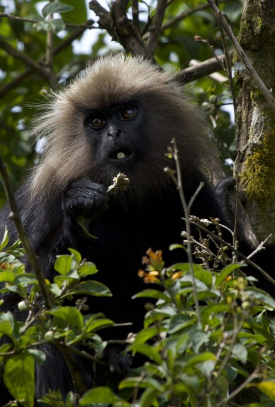 The Nilgiri langur is found in the Western Ghats of South India.