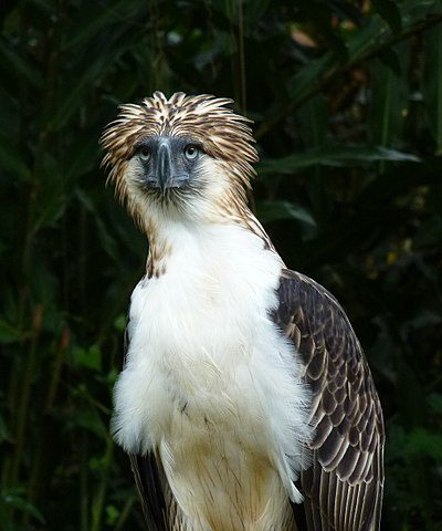 The Philippine eagle is also known as the monkey-eating eagle.