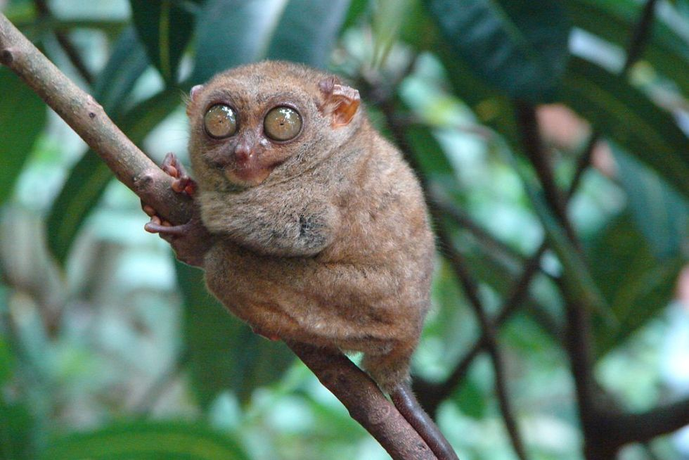 Philippine tarsier (Tarsius syrichta), one of the smallest primates.