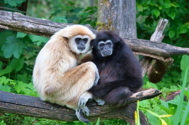 Lar gibbons
