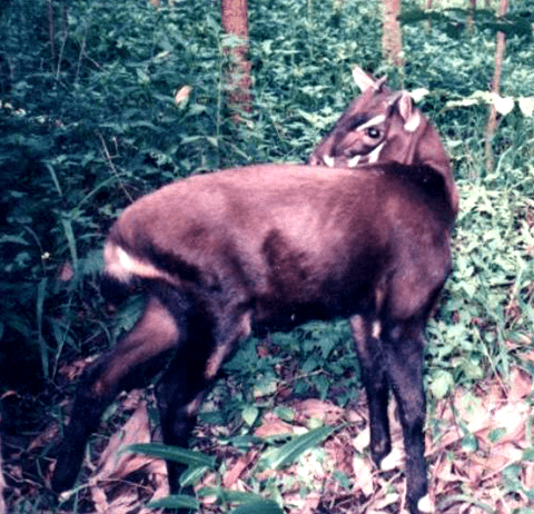 The saola was discovered in 1992. It's related to cattle, goats, and antelopes, and lives in the Annamite Mountain Range.