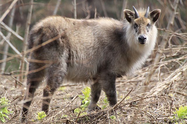 The Japanese serow is a goat-antelope that is found in dense woodland, primarily in northern and central Honshu.
