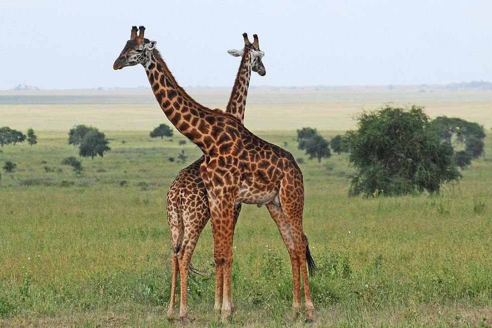 Giraffe in Eastern Serengeti