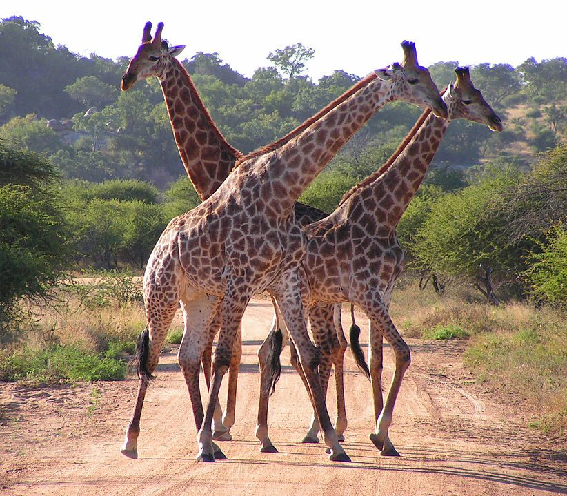 Southern African giraffes