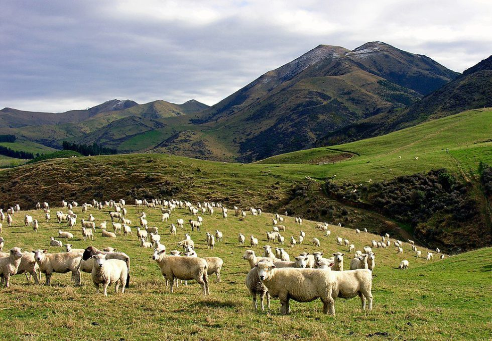 Sheep in Canterbury, New Zealand