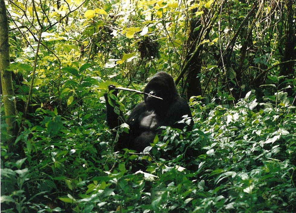 Silverback mountain gorilla Marcel eating in Virunga National Park. His group is close by. A few months after this picture was taken Marcel was killed by poachers.