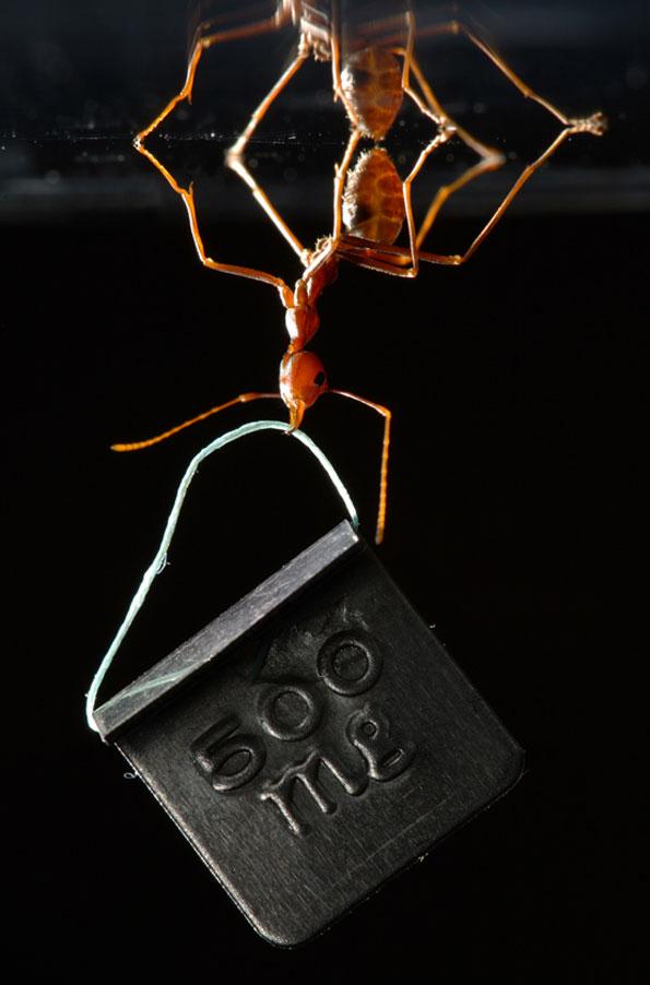 Formiga atômica - Foto de Thomas Endlein mostra a espécie 'Oecophylla smaragdina', que carrega mais de 100 vezes seu peso (crédito: Thomas Endlein)