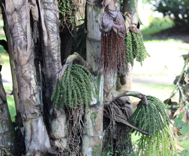 Palmeira Rabo de Peixe: Tudo Sobre Essa Planta