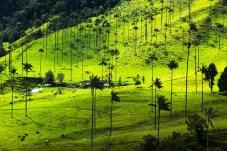 Bosques Natural Palma de Cera La Samaria