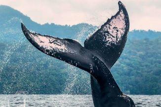 Avistamiento de Ballenas Jorobadas