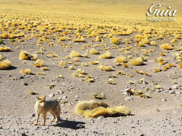 Raposa no deserto do Atacama