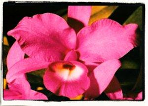 La Guaria Morada – Flor Nacional