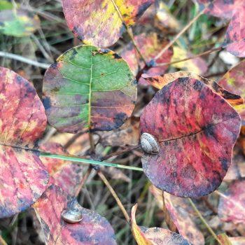 carso autunno foglie sommacco rosso lumaca