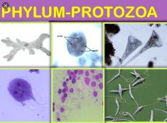 Characteristics of Phylum Protozoa
