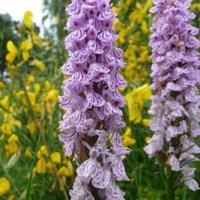 Orchidées et fleurs d'Auvergne