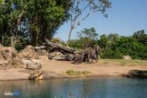 Elephants - Kilimanjaro Safaris - Animal Kingdom Attraction