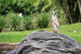 Meerkat - Pangani Forest Exploration Trail - Animal Kingdom Attraction