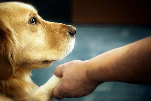 """Black and white photo of a golden retriever putting its paw in its handler's hand. The golden retriever is looking up at its human with sweet eyes. In the corner of the image is a Guide Dogs of Hawaii logo, along with the text """"A Guiding Legacy: A Guide to Planned Giving."""""""