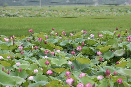 Fleures de lotus