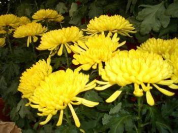 la-fleur-de-chrysantheme