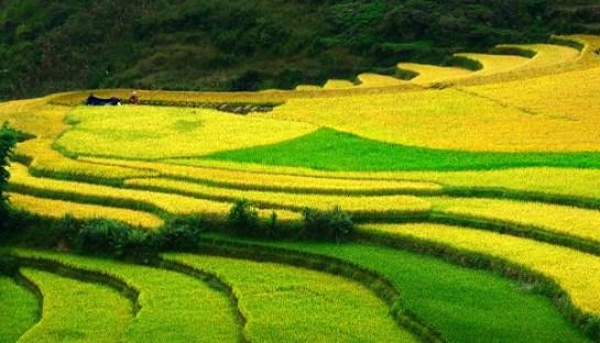 Sep - champs de riz jaunes