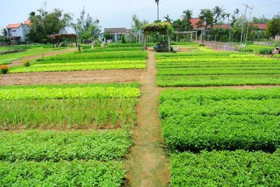 hoi an vietnam village tra que.jpg