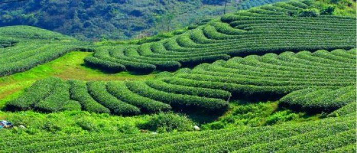 le plateau de Môc Châu province Son La