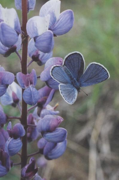 Karner blue butterfly Carly Voight