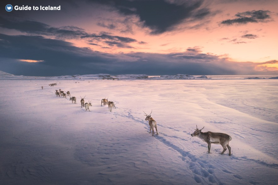 Reindeer in east Iceland are a common sight.