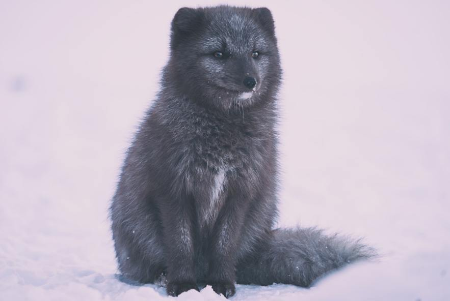 An arctic fox in Iceland.