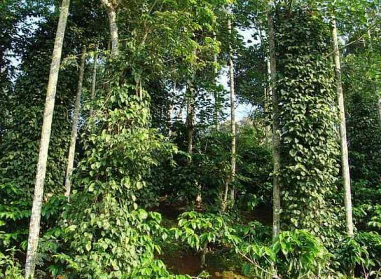 Coffee and Black Pepper Plantation