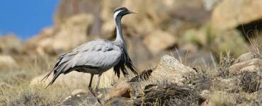 Demoiselle Cranes of Keechen