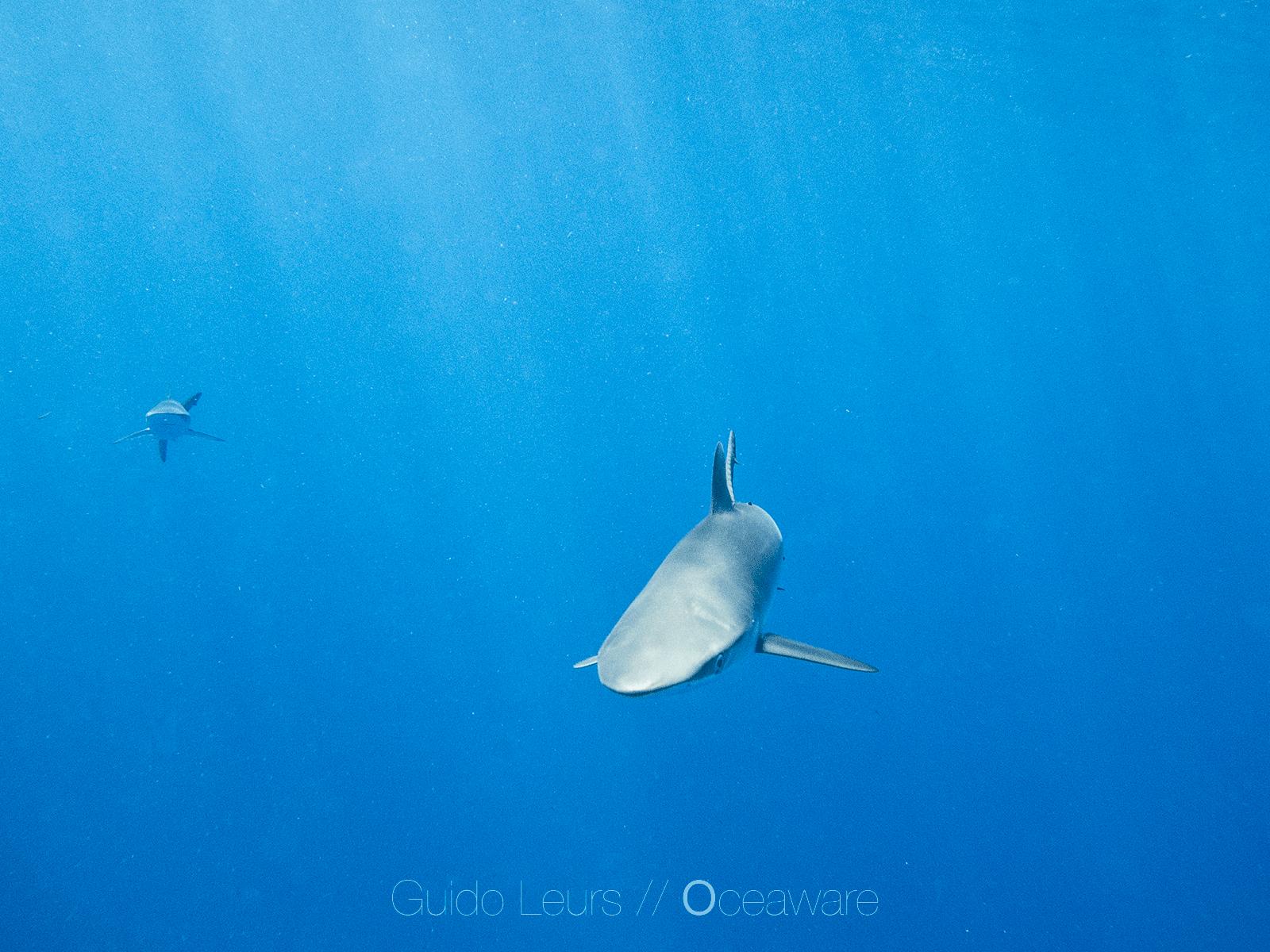 Carcharhinus_falciformis_GuidoLeurs2018_02