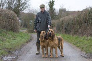 bloodhound-cao-de-santo-humberto-6-500x333