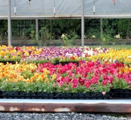 pansies-maple-grove-flower-farm