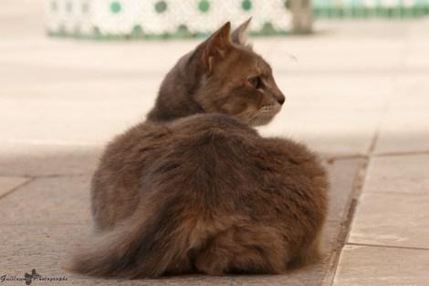 Le chat - Casablanca -Mosquée Hassan II