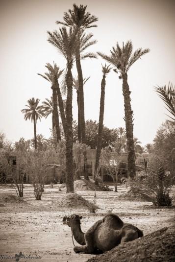 Marrakech - La Palmeraie