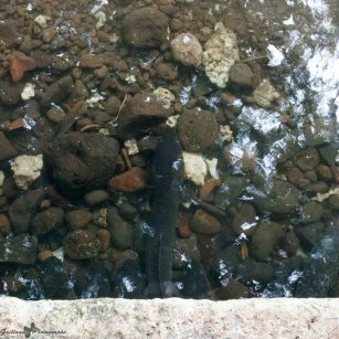 Huhaine-anguilles sacrées