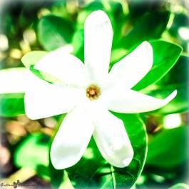 Raiatea - Jardin botanique-Fleur de Tiaré